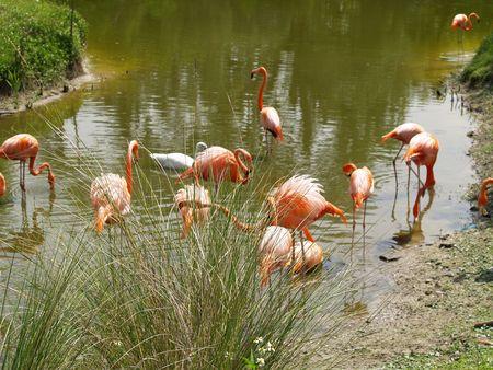 Group of Flamingos 版權商用圖片