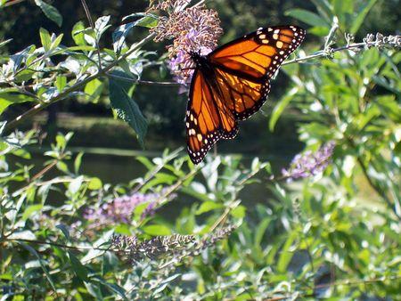 flowering plant: Farfalla monarca su una pianta a fiore viola
