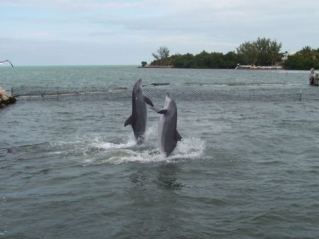 trained: Two trained dolphins show off their skills