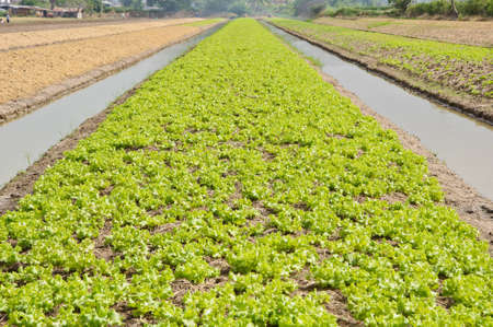 A lush field of lettuce farm must be irrigated in Thailand. Reklamní fotografie