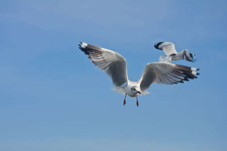 The seagull flying in the blue sky at Bang Pu beach. photo
