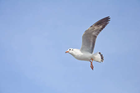 A seagull flying in the blue sky at Bang Pu beach. photo