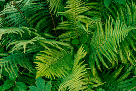 Green fern leaves in sunlight. Textured background of a tree. Archivio Fotografico