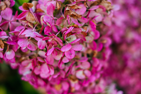 Pink and white petals of hydrangea flowers. Macro photo.