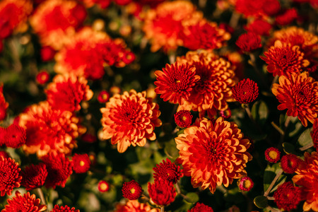 Red chrysanthemum flower as fall perfect background.