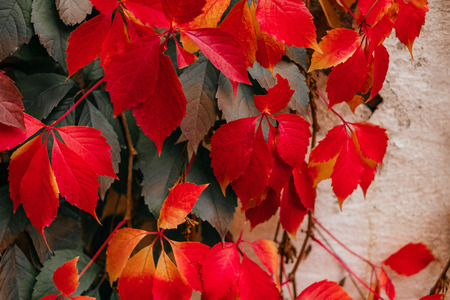 Background of red and green Virginia creeper known as five-leaved ivy on the wall. Foto de archivo
