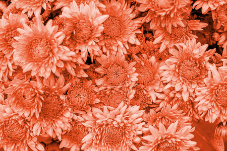 Bight bouquet of coral gradient chrysanthemum flowers. Fall flowers background.