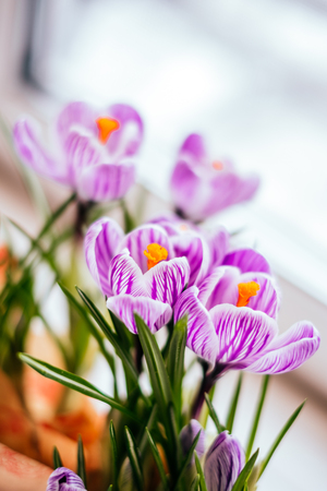 Violet Crocus flowers on the white window sill background. Spring concept. Zdjęcie Seryjne