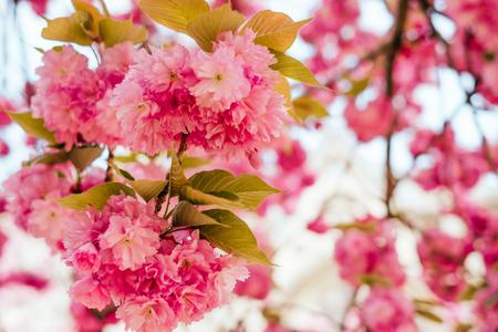 Bright pink cherry sakura blossom background with beautiful blurred bokeh effect. Banco de Imagens