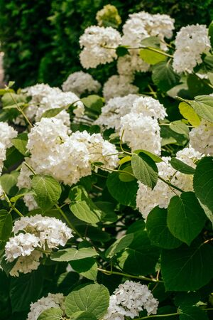 White petals of hydrangea flowers. Macro photo.