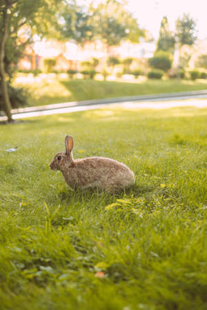 Young cute European rabbits grazing grass in public park.