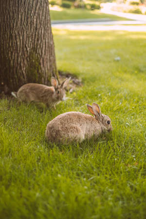 Two young cute European rabbits grazing grass in public park.