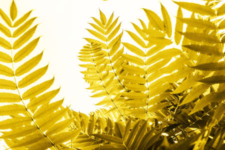 Green palm leaves in sunlight. Textured background of a tree.