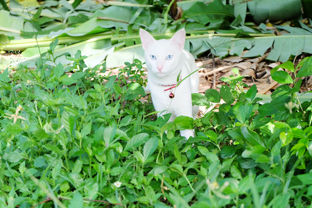 white cat is watching something in the garden