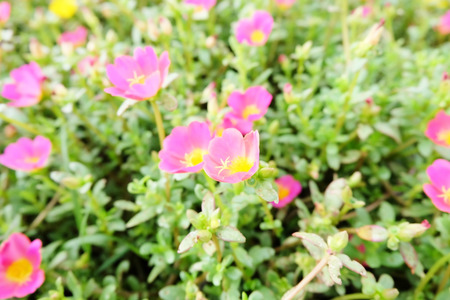 Small pink flowers in the garden