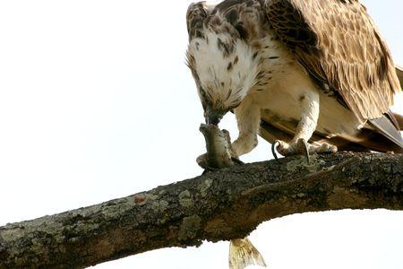 bird eating raptors: Australian Osprey eating his pray in Hervey Bay, Queensland.