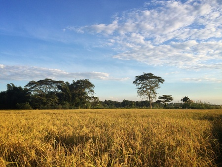 ricefield: Golden ricefield