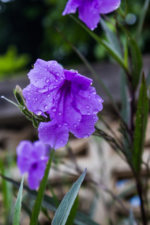 petunia wild: Popping pod flower Purple bloom in the morning,  Minnie root, Feverroot, Cracker plant, Trai-no, Toi ting