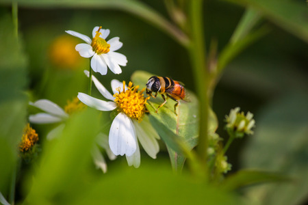 Close up cute flower flies on a Daisy flower  Hoverfly (Syrphidae)