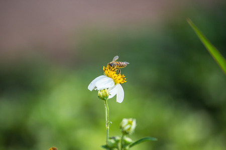 Bee on the white daisy flower  Natural photography