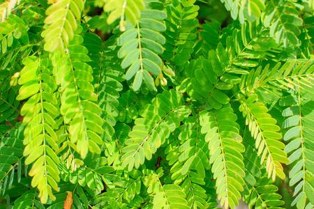 tamarindo: Cierre de hojas de tamarindo verde patrón de textura de fondo.