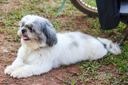Cute Shih Tzu dog lies on ground  waiting for the boss