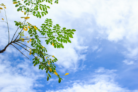 Tree branch with leaves on clouds and blue sky background from low angle view. Copy space.