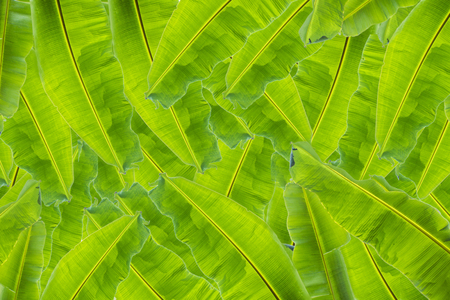 Banana leaves isolated on white background. Copy space Stock Photo