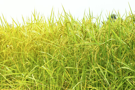 Close up green and yellow rice field. Rice is found in much of Asia. Rice is the cereal that the world consumes as a food. Especially in Asia.