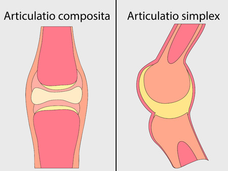 somatic: Complex and simple joint vector. Medical poster illustration. Mobile connection of bones. Somatic system connection of bones.