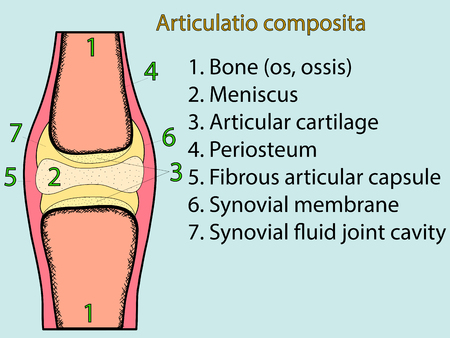 complex system: Complex joint vector. Medical poster illustration. Mobile connection of bones. Somatic system connection of bones. Anatomical atlas