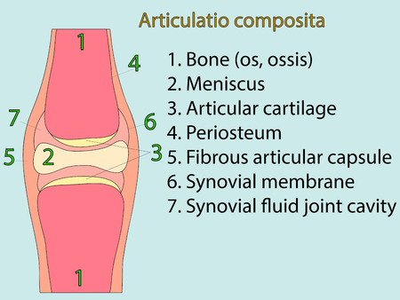 meniscus: Complex joint vector. Medical poster illustration. Mobile connection of bones. Somatic system connection of bones. Anatomical atlas