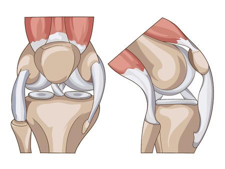 Anatomia. Ginocchio Sezione comune trasversale che mostra le parti principali che hanno reso l'articolazione del ginocchio Standard Medical Education anche per le cliniche Archivio Fotografico - 63435378