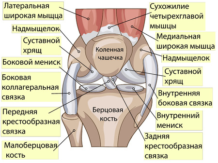 specify: Anatomy. Knee Joint Cross Section Showing the major parts which made the knee joint For Basic Medical Education Also for clinics. Inscriptions in Russian Illustration