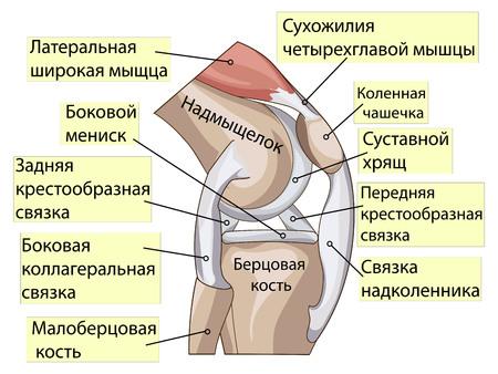 Anatomía. Rodilla Sección De Unión Transversal Que Muestra Las ...