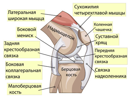 meniscus: Anatomy. Knee Joint Cross Section Showing the major parts which made the knee joint For Basic Medical Education Also for clinics. Inscriptions in Russian Illustration