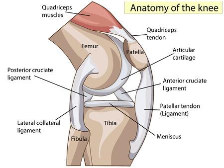 Anatomia. Ginocchio Sezione comune trasversale che mostra le parti principali che hanno reso l'articolazione del ginocchio Standard Medical Education anche per le cliniche Archivio Fotografico - 64101407