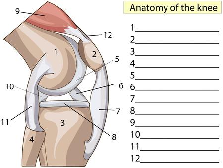 解剖学.購読してください。構造膝関節ベクトル。