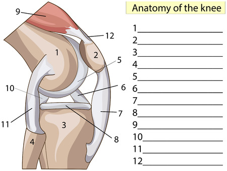 Anatomy. Subscribe. Structure knee joint vector.