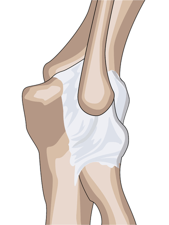 解剖学的設計。肘関節の後部および放射状側靭帯。  イラスト・ベクター素材