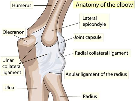 解剖学的設計。肘関節の後部および放射状側靭帯。基礎医学教育用の肘関節を作った主な部分を見せるクリニックも  イラスト・ベクター素材