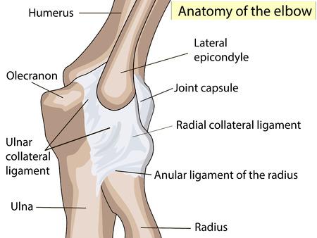 解剖学的デザイン。肘関節の後方とラジアル側副靱帯。診療所のためにまた基本的な医学の教育のための共同肘を作った主要な部分を示す