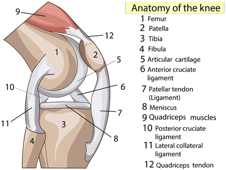 解剖 学。購読。構造膝関節ベクトル  イラスト・ベクター素材