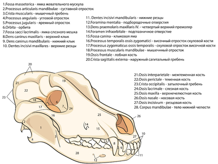 The skull of a dog. Structure of the bones of the head, anatomical design. In Russian and Latin