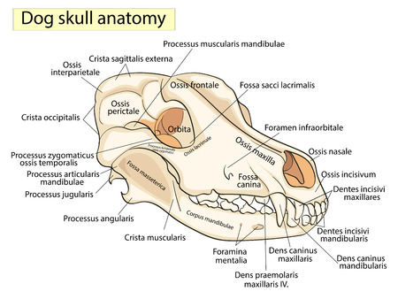 The Skull Of A Dog Structure Of The Bones Of The Head Anatomical