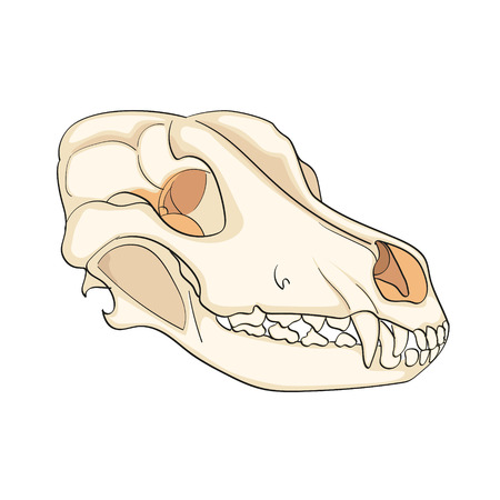 Object on white background skull dog sideways. Color vector illustration.