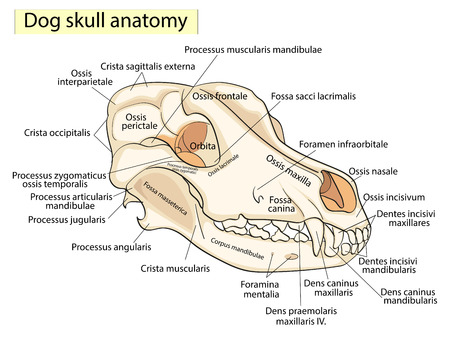 The skull of a dog. Structure of the bones of the head, anatomical design. In Latin