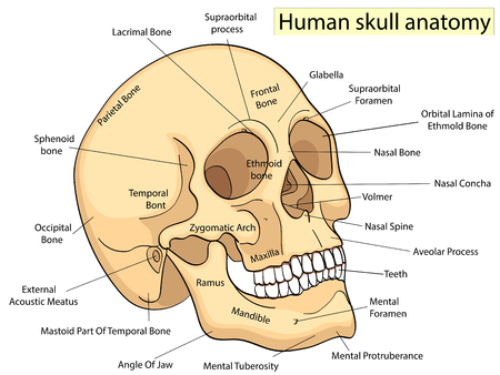 Medical Education Chart of Biology Human Skull Diagram. Vector. Ilustração
