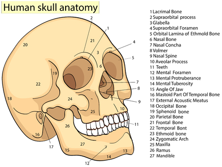 Medical Education Chart of Biology Human Skull Diagram. Vector. Front aspect white background basic medical education