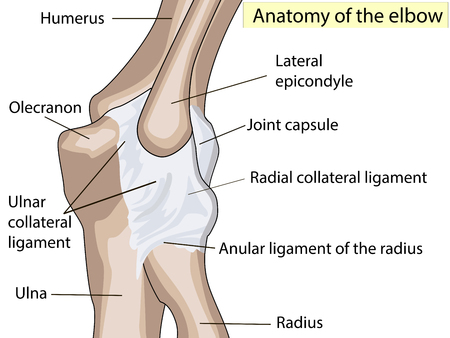 Anatomical design. posterior and radial collateral ligament of the elbow joint.